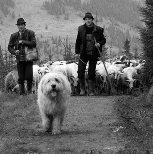 Romanian Mioritic Shepherd herding sheep