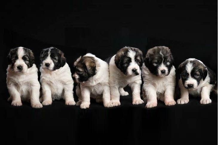 Romanian Mioritic Shepherd Puppies price