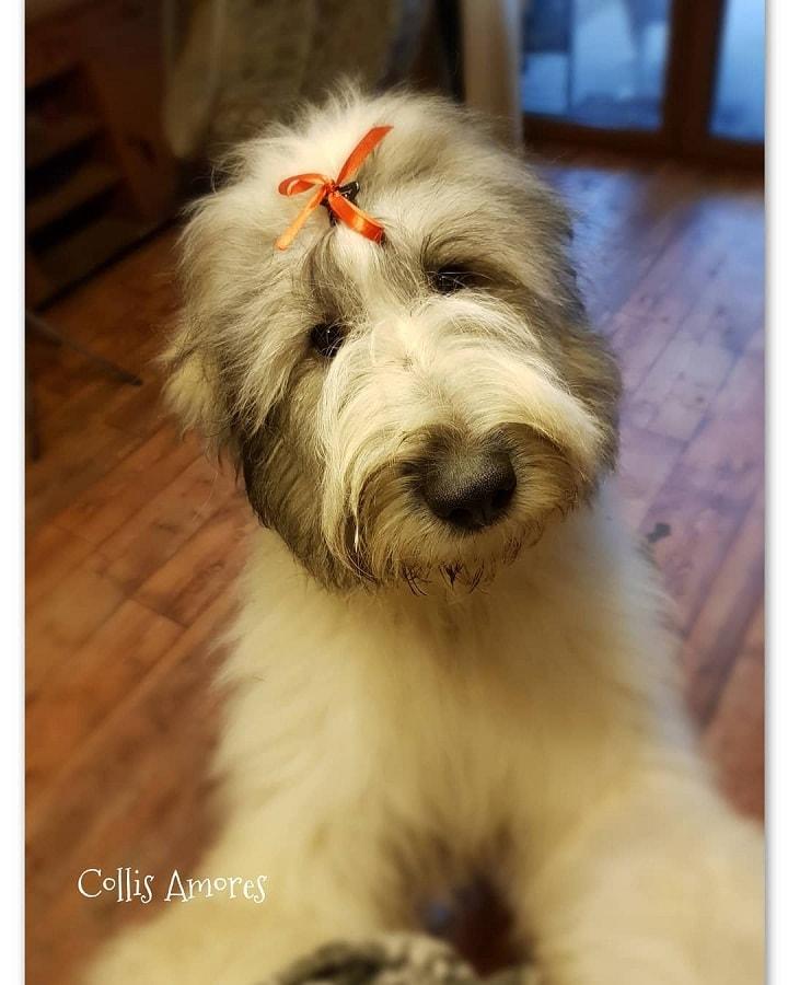 Romanian Mioritic Shepherd Puppy price