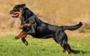 Rottweiler behavior and history