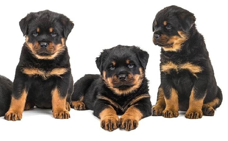 Rottweiler Puppy cost