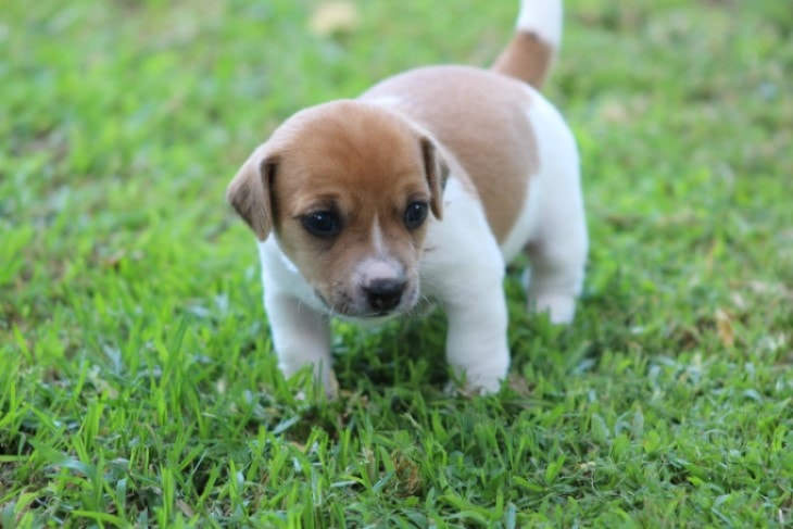 Russel Terrier Puppies Are Quite Playful