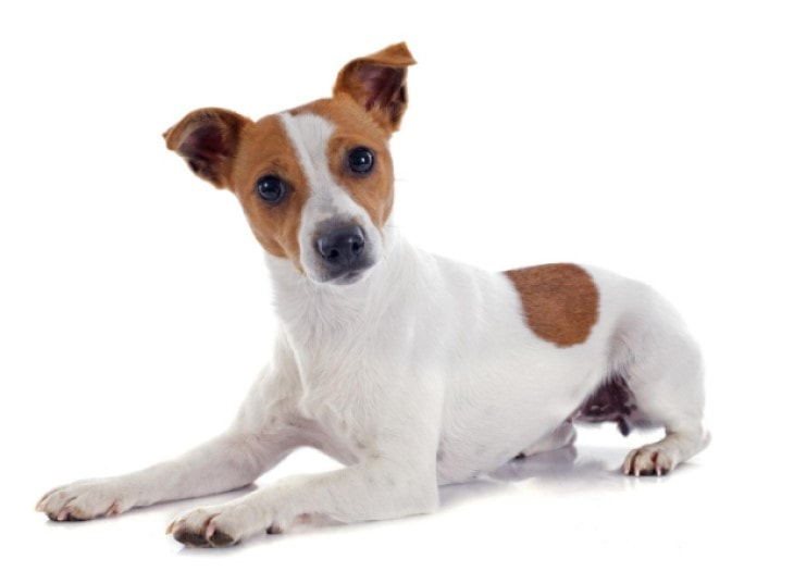 Russel Terrier Is Originated In England