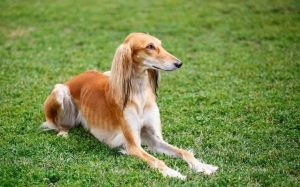 Saluki Is A Slim Dog Breed
