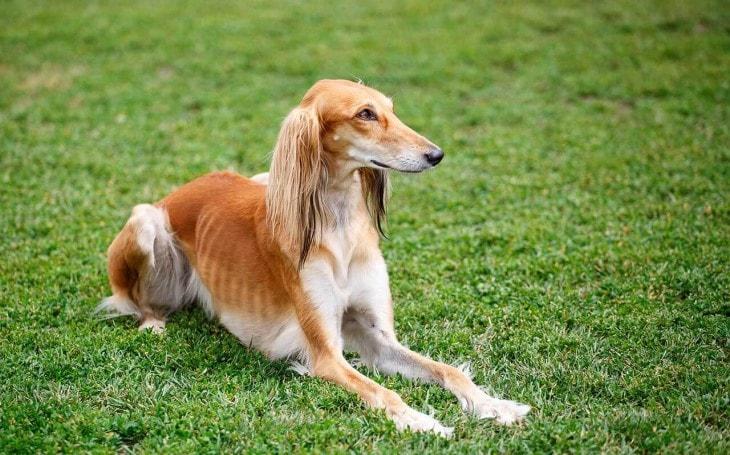 Saluki Is A Slim Dog Breed