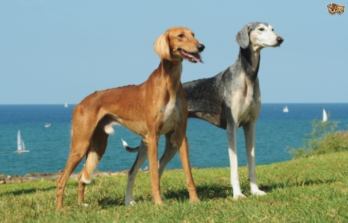 Saluki Dogs Are Well Known For Their beautiful Body