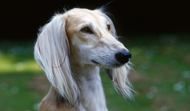 Saluki dog which is similar to Sloughi