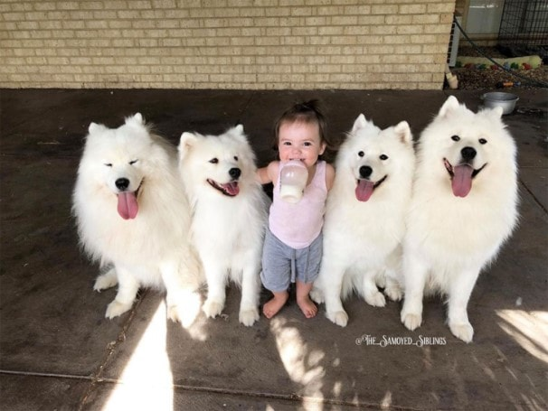 Samoyed Dogs  Standing With Child
