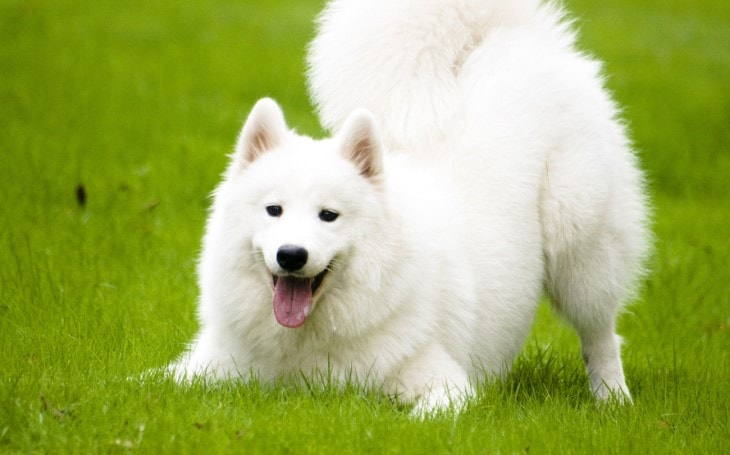 Samoyed Are Extremely Graceful Dog Breed