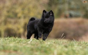 Schipperke Is A Independent Dog Breed