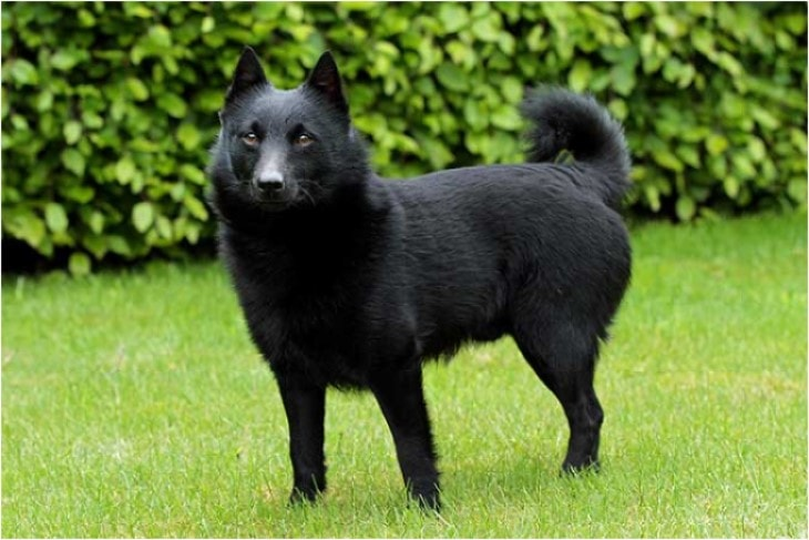 Schipperke Belongs To Belgium