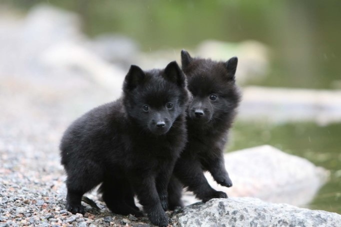 Schipperke Puppies Are Lively