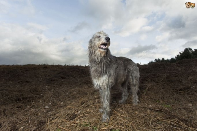 Scottish Deerhound Are Second Tallest Breed