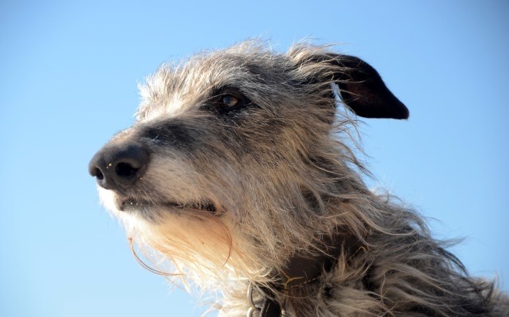Scottish Deerhound Belongs To Scottland