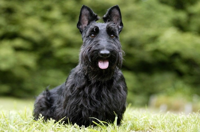 Scottish Terrier which is similar to Skye Terrier