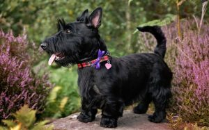 Scottish Terrier Are Independent Dog Breed