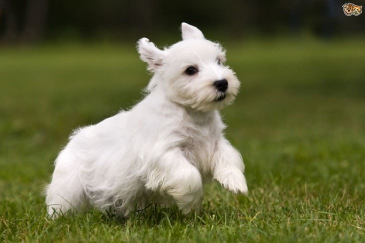 Sealyham Terrier Puppies Are Quite Active