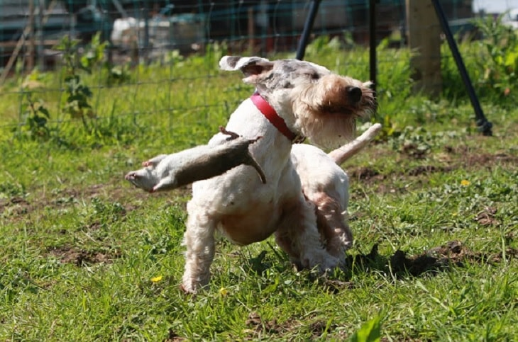 Sealyham Terrier Are Aggressive With Other Animals