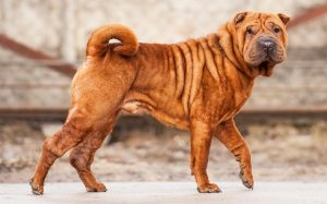 Fully Grown Shar-Pei Dog Breed.