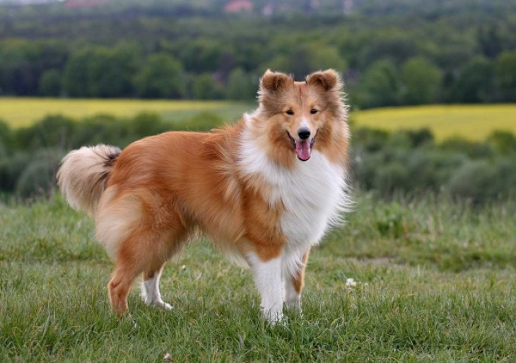 Shetland sheepdog Are Loyal