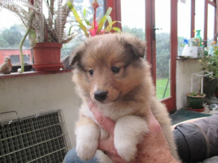 Shetland Sheepdogs Are Child -Friendly