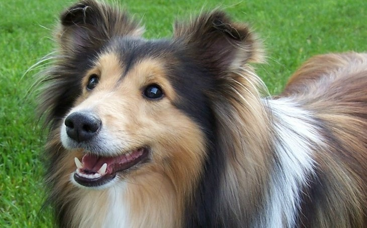 Shetland Sheepdog Are Very Active