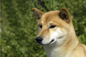 Shiba Inu Was Originally Bred To Flush Game
