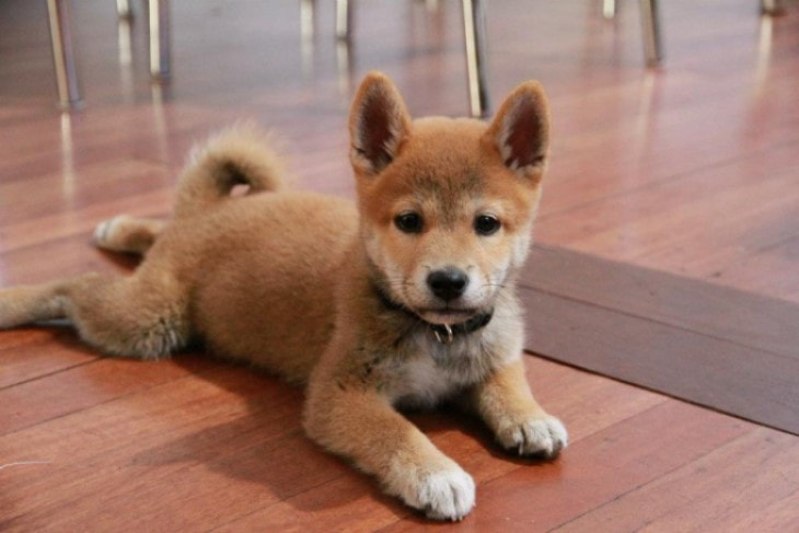 Shiba Inu Can Be Aggressive With Other Dogs