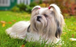 Shih Tzu Has A Sweet Expression