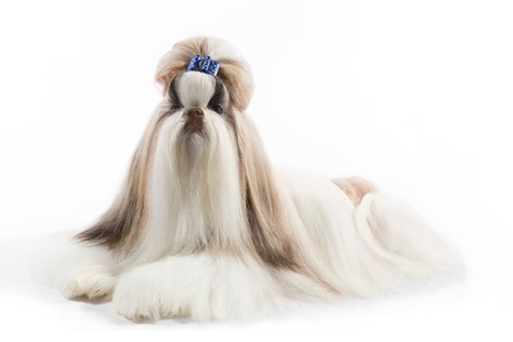 Shih Tzu Are Very Attractive
