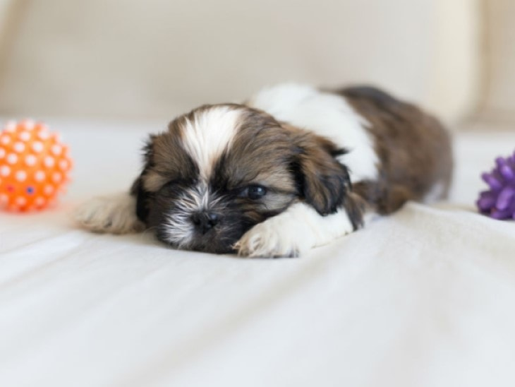 Shih Tzu Puppy Sleeping