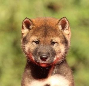 Shikoku Puppy cost
