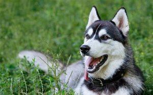 Siberian Husky History and Behavior