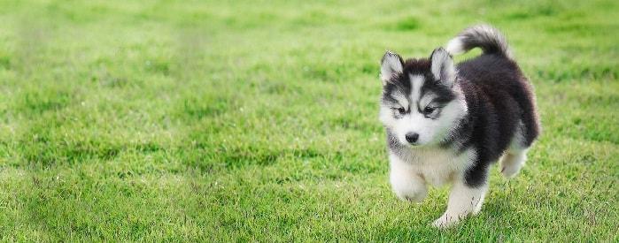 Siberian Husky Puppy cost