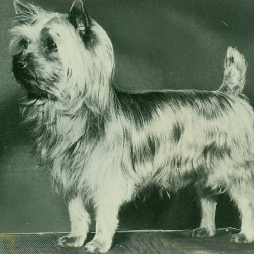 Silky Terrier History