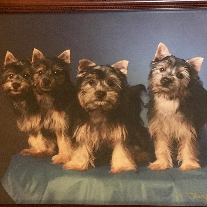 Silky Terrier Puppies Cost