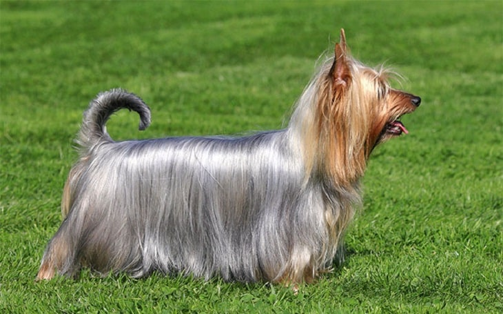 Silky Terrier History and Behavior