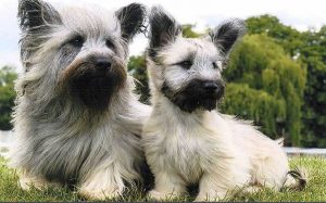 Skye Terrier history and behavior