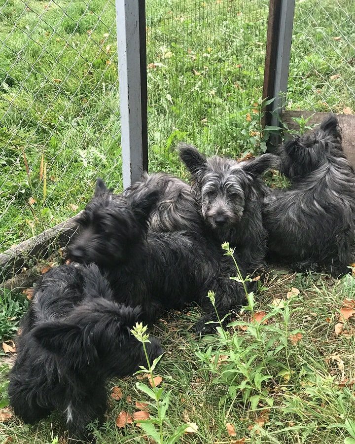 Skye Terrier Puppies cost