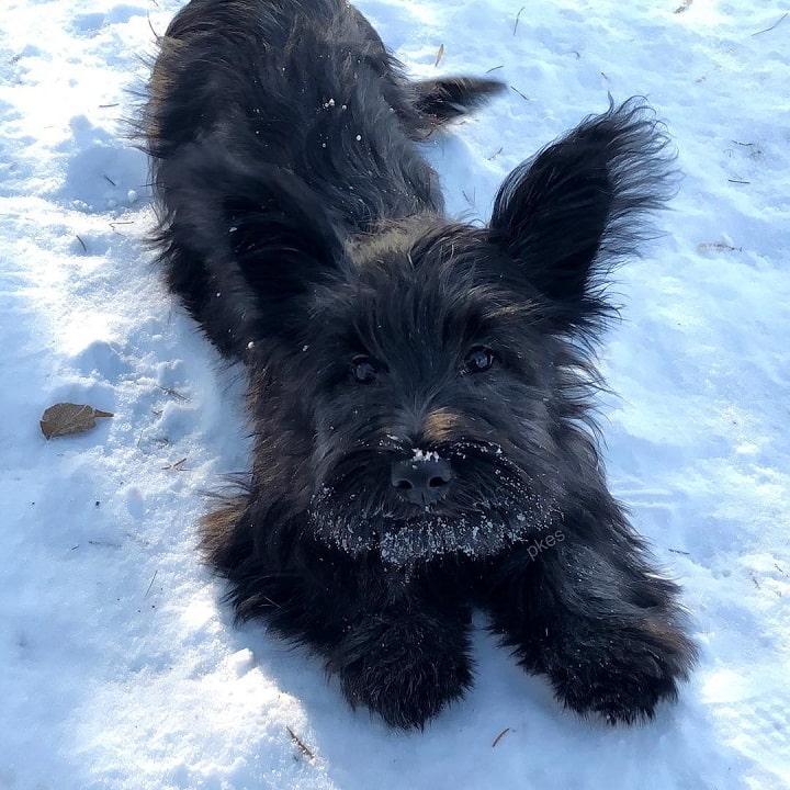 Skye Terrier Puppy cost