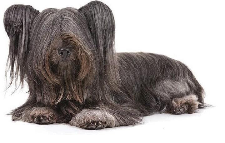 Skye Terrier similar dog breed to Silky Terrier
