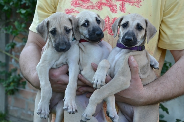 Sloughi Puppies