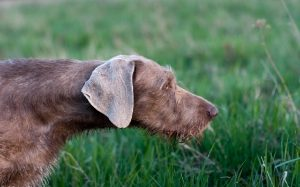 Slovakian Wirehaired Pointer Hidtory and Behavior