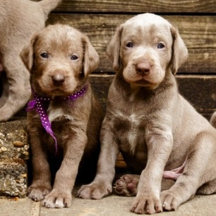 Slovakian Wirehaired Pointer Puppies