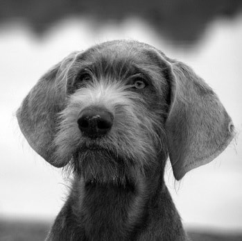 Slovakian Wirehaired Pointer puppy