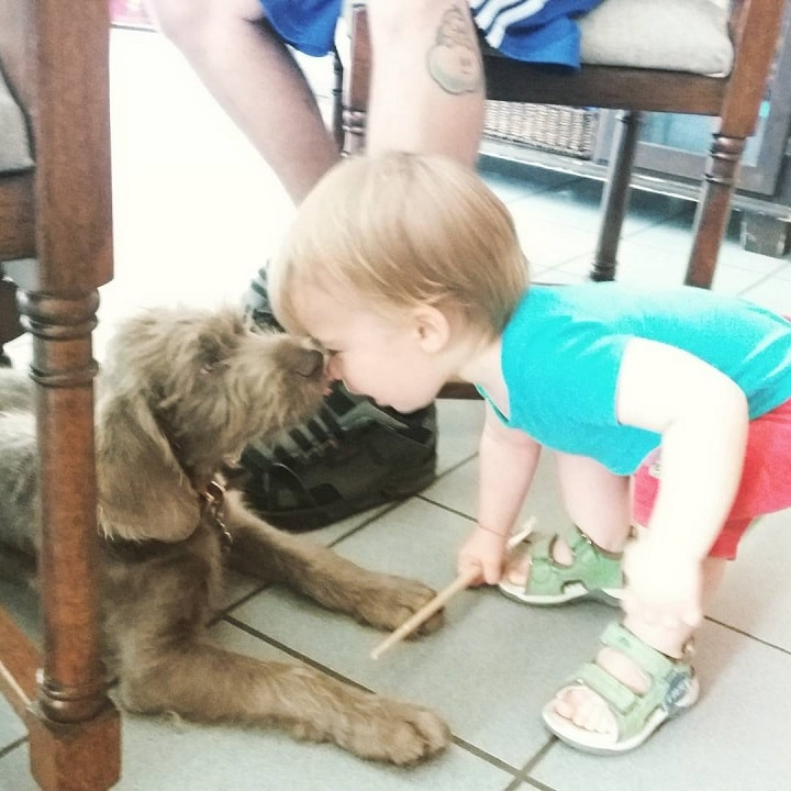 Slovakian Wirehaired Pointer is child friendly