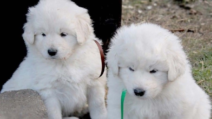 Slovensky Cuvac Puppies cost