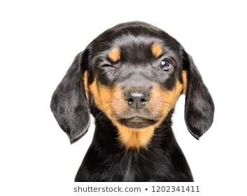 Slovensky Kopov Puppy Cost