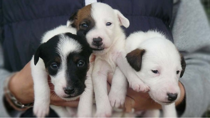 Smooth Fox Terrier Puppies ccost