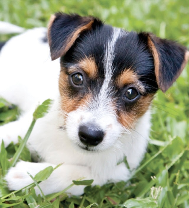 Smooth Fox Terrier Puppy cost